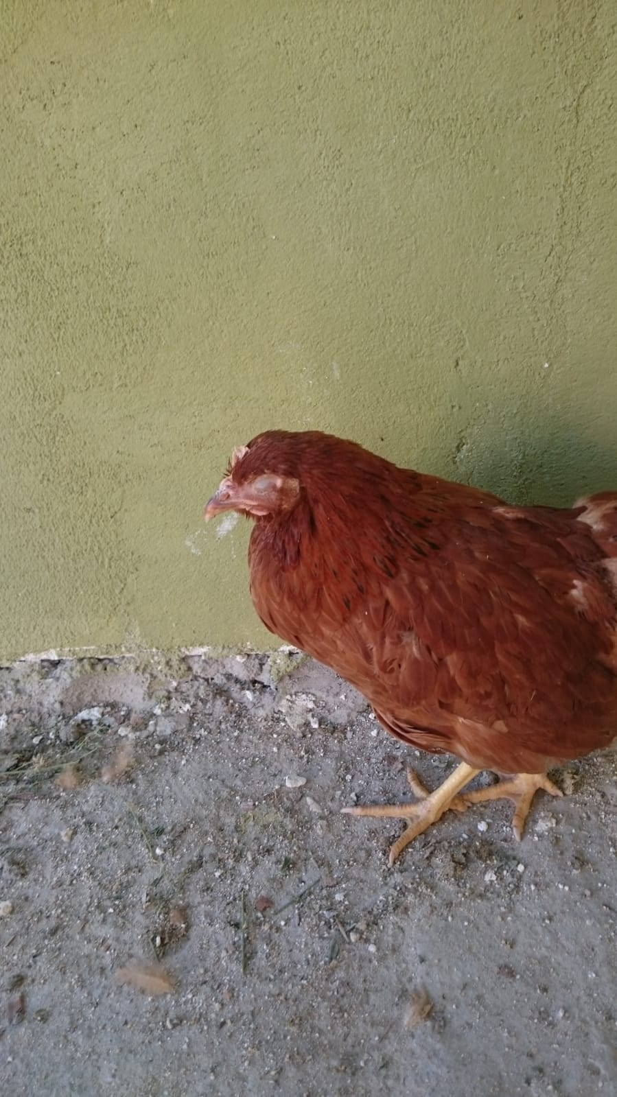 tavuklarda koriza